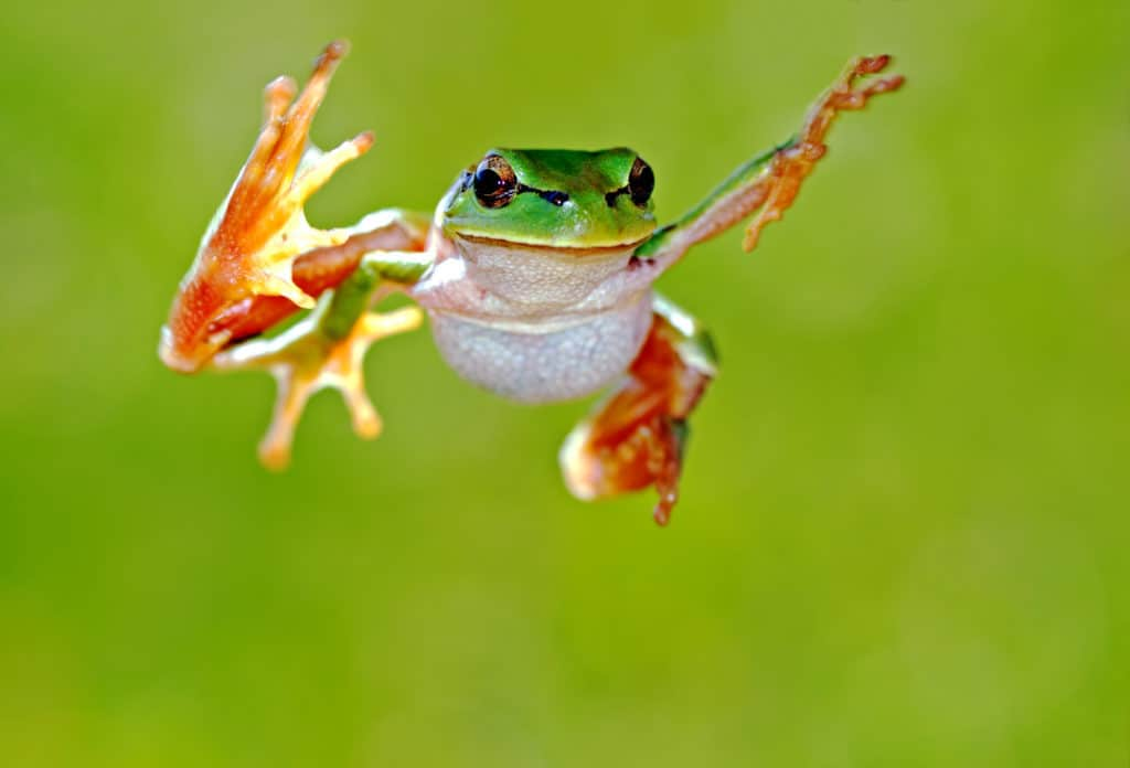 Frog in mid-air