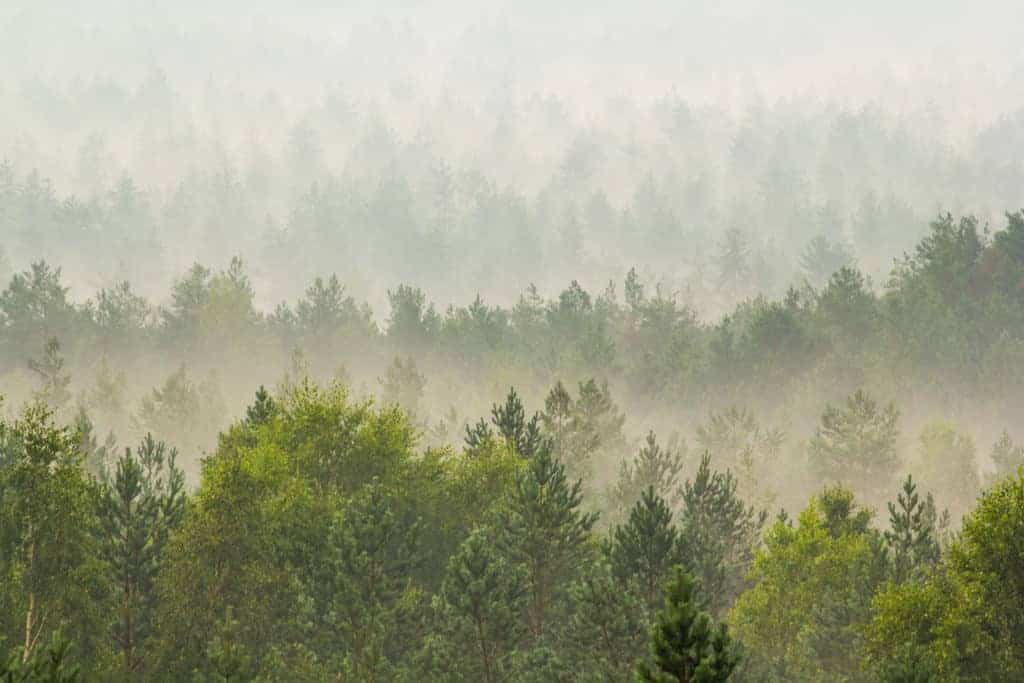 Fog over the evergreen forest in Latvia